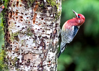 Red-breasted Sapsucker October 23, 2016